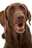 Chocolate Labrador Retriever Dog Closeup
