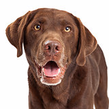 Chocolate Labrador Retriever Dog Head Shot