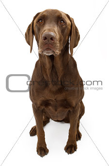 A Chocolate Labrador Retriever Dog Isolated on White