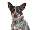 Closeup Of An Australian Cattle Dog