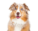 Closeup of Australian Shepherd Dog Sitting