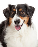 Closeup of Australian Shepherd Dog