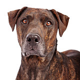 Labrador Retriever and Plott Hound Crossbreed Close-up