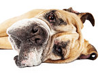 Closeup of Bulldog Laying on Side