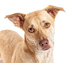 Closeup of Chihuahua Corgi Mix
