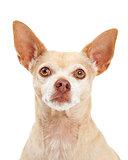 Closeup of Chihuahua Dog