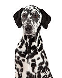 Closeup Of Dalmatian Dog