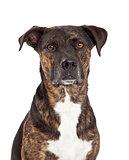 Closeup of Dog With Brindle Coat