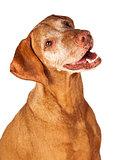 Closeup of Happy Vizsla Dog