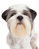 Closeup of Lhasa Apso Dog Standing