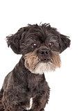 Closeup of Mixed Breed Small Dog
