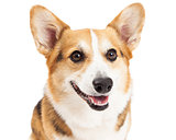 Closeup Of Pembroke Welsh Corgi Dog
