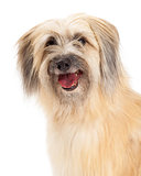 Closeup of Pyrenean Shepherd Dog