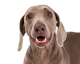Closeup of Weimaraner Dog