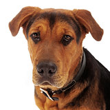 Closeup Sad Mixed Breed