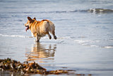 Corgi Running on Beach