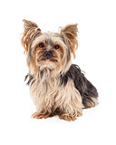 Curious Yorkshire Terrier Dog Sitting Looking Forward