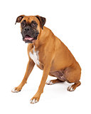 Cute and Friendly Looking Boxer Dog Sitting