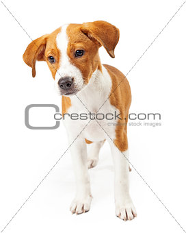 A Cute Dark Gold and White Standing Puppy
