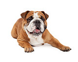 Cute English Bulldog Laying
