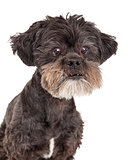 Cute Mixed Breed Small Dog Headshot