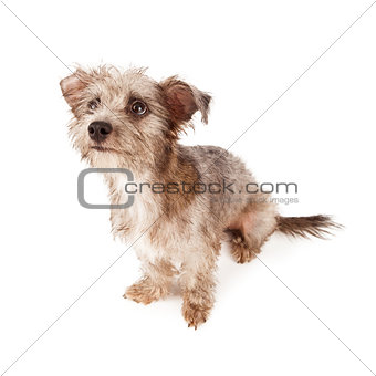 Cute Terrier Dog Sitting Looking Up