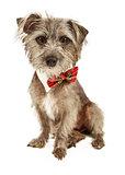 Cute Scruffy Terrier Wearing Bow Tie