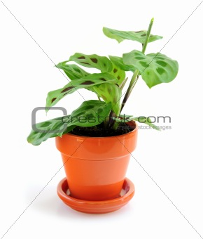 Houseplant on white background