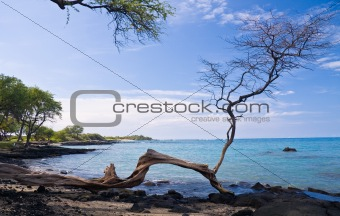 Single Tree on Hawaiian Beach