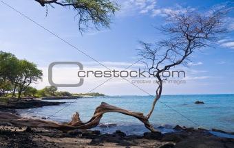 Single Tree on Hawaiian Beach