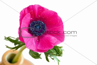 Anemone coronaria flower with droplets