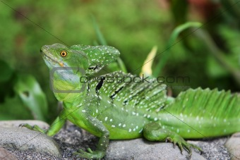 Emerald Double-crested Basilisk
