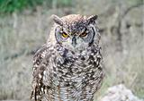 Eurasean Eagle Owl