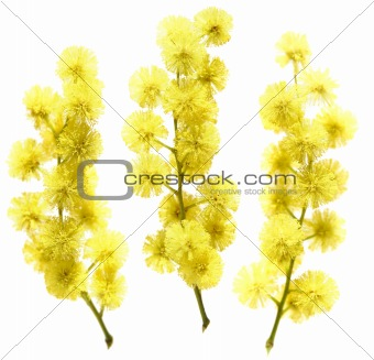 three small branches of mimosa on white