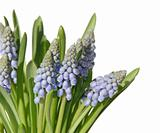bunch of muscari isolated on white