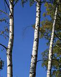 Trunks of birches against the sky.
