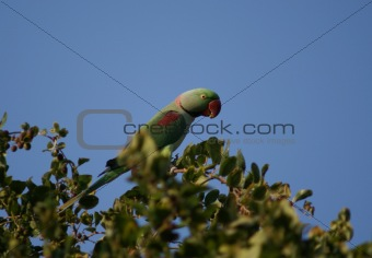green parrot in natural  habitat