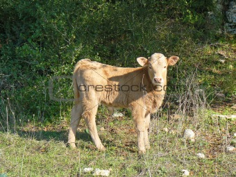 A calf in field