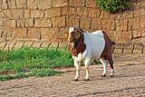 goat on path