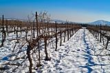 vineyard at snow