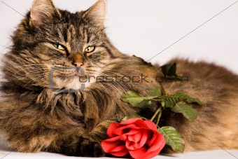 Cat wiiyh valentine rose