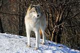 Gray Wolfe