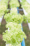 Closeup green coral plants on hydrophonic farm