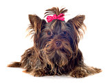 chocolate yorkshire terrier