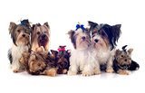 group of  yorkshire terrier