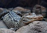 dangerous crocodile