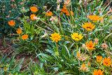 Yellow and orange garden flowers