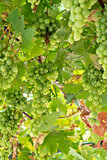 Vine with green grapes lit by sun