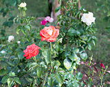 Rose bush with white and pink flowers