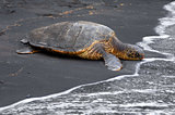 Black Sand and Sea Turtle